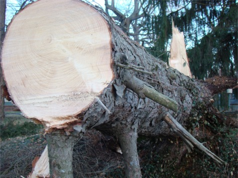 Storm tree trunk