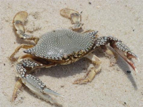 Gs crab