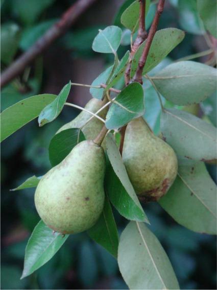 Moms garden pears