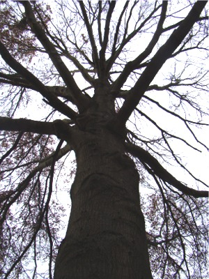 Oak tree looking up