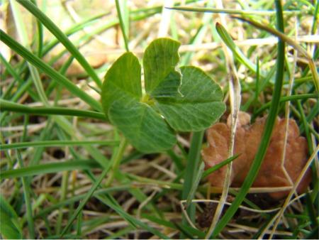 4 clover up close
