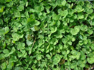4 clover field