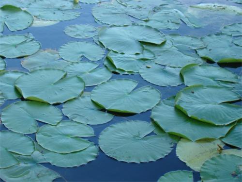 Lake 2010 lilypads