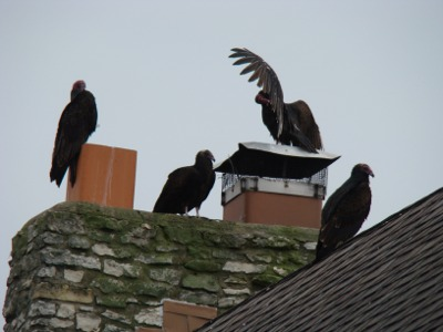Vultures close up