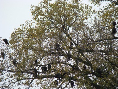 Vultures tree