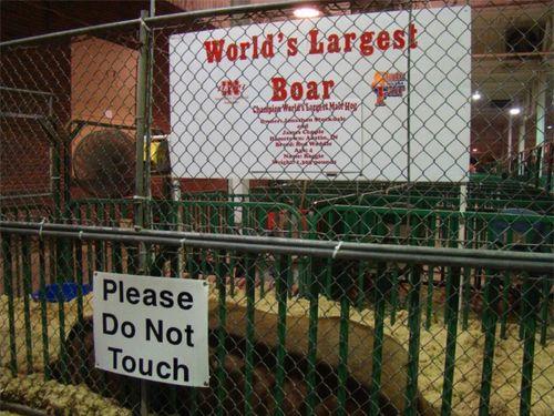 Fair boar