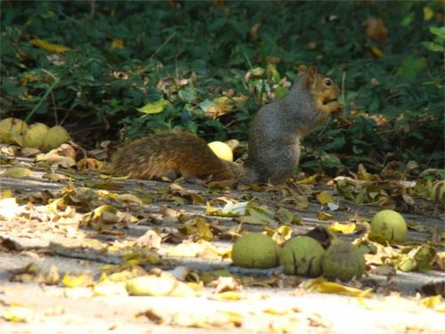 Walnuts squirrel 1