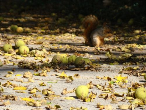 Walnuts squirrels 2