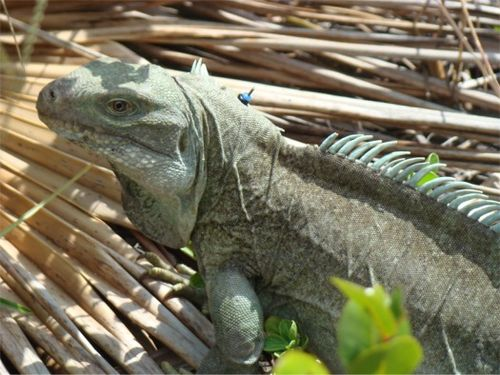 Tc iguana