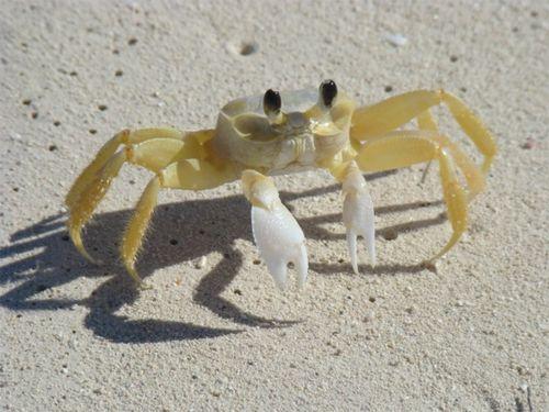 Tc crab
