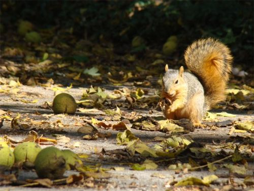 Walnuts squirrels 3