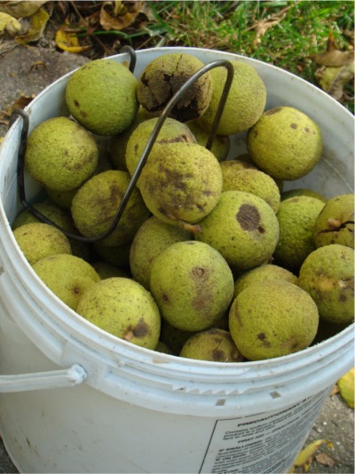 Bucket of walnuts