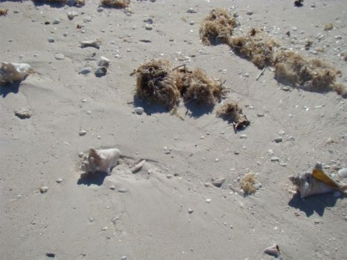 Tc found seashells