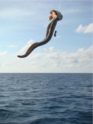 Tc eel