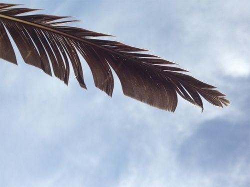 Pelican feather
