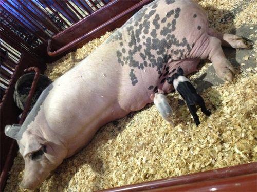 Pigs at the fair