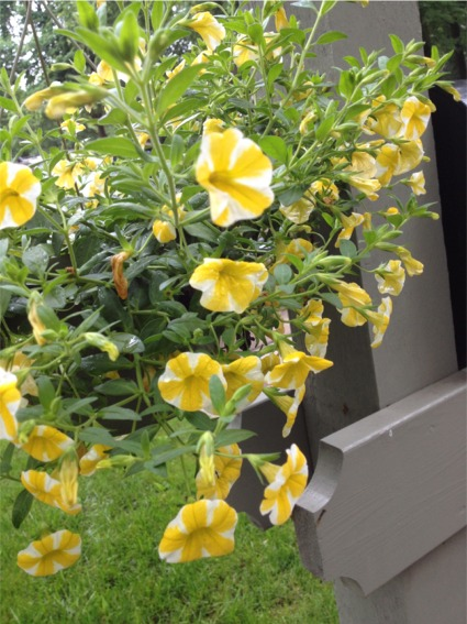 Lemon slice petunias