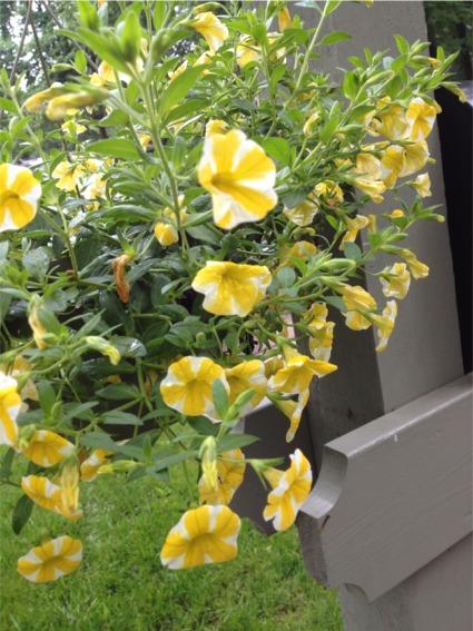Lemon slice petunias