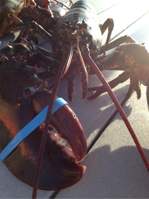 Cape cod lobstah