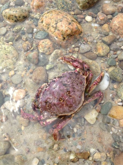 Cape cod purple crabby