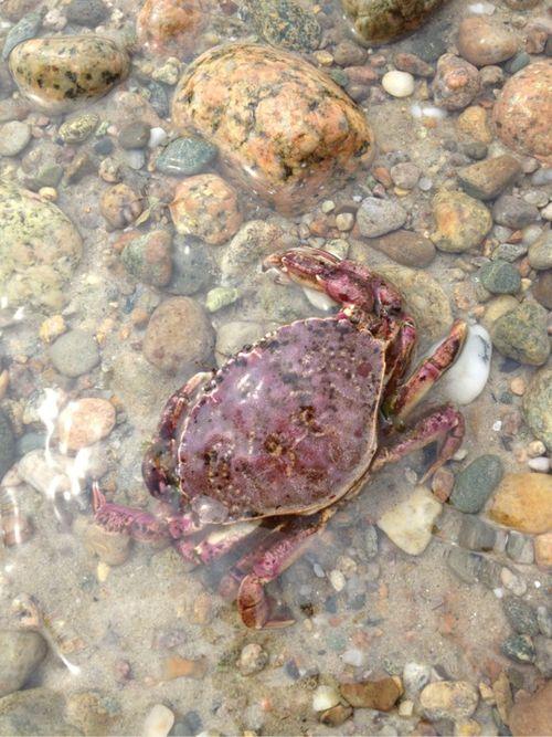 Cape cod purple crabby