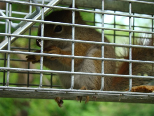 Squirrel_in_cage