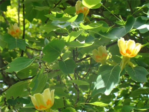 Tulip_tree_2